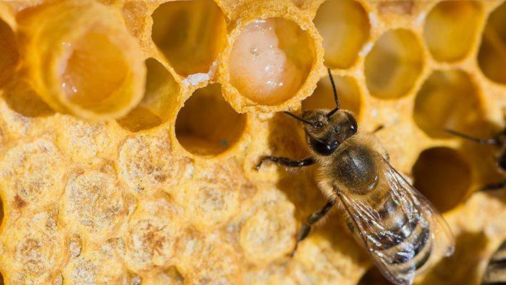 Sua ong chua la gi tac dung cua sua ong chua